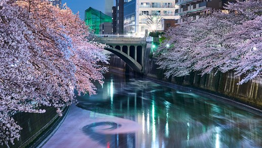 Japan Cherry Blossom 1240X720