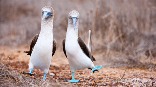Blue Footed Booby 1280x 720